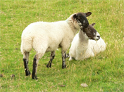 brun-farm-Derbyshire-sheeps
